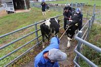 牛たちも冬支度 元気に育ち収牧作業 栃木