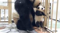 <動画>和歌山の赤ちゃんパンダ、名前を募集中!