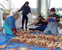 冬の味覚の王者、いよいよ初競り ズワイガニ漁解禁 最高値は5匹40万円 京都・間人