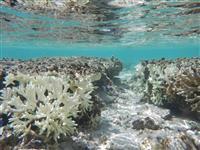 サンゴ礁を救おう、静岡大の挑戦(上)世界初、白化現象の仕組み解明