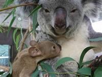 赤ちゃんひょっこり 埼玉県こども動物自然公園のコアラ