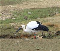 「かけるくん」に特別住民票 福井から飛来のコウノトリ、和歌山・有田川町の観光名物に