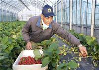 新品種「いちごさん」初出荷 佐賀、20年ぶり開発
