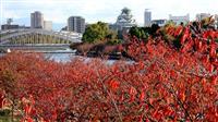 鮮やかに色づく桜紅葉が見頃 大阪・桜之宮公園