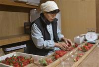 佐賀の新品種イチゴが初出荷 20年ぶり開発