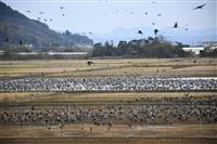 鹿児島・出水平野に「万羽鶴」 朝焼けの空を悠然と