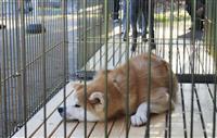 人気者、秋田犬はつらいよ 過剰な触れ合いストレスに