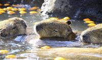 カピバラ初風呂でのんびり 伊豆シャボテン公園