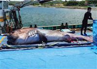 世界初、幻のメガマウスザメ全身骨格標本を公開 鴨川