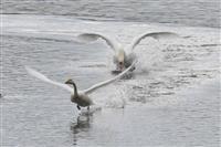 渡り鳥の楽園、山陰・中海 野鳥点描
