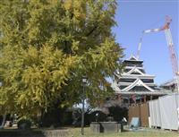 熊本城の大いちょうの黄葉見頃