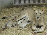 広島市安佐動物公園の赤ちゃんライオンすくすく