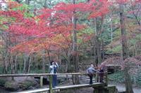 紅葉に包まれて 静岡・小国神社で見頃
