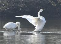 冬の使者飛来 埼玉・川島の越辺川にコハクチョウ