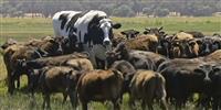 オーストラリアで巨大牛、見つかる