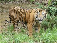 みさき公園に絶滅危惧種のスマトラトラ「パンプ」