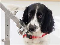 においで病気を発見する「探知犬」が誕生する? マラリア対策への有効性が判明