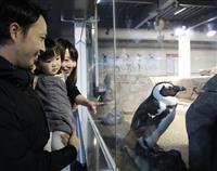 京都水族館のペンギンユニット・MIYA-CCOセンターに「まる」