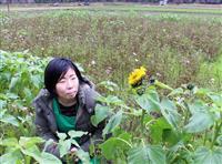 季節外れのヒマワリけなげに 兵庫・香住、トキワの花畑
