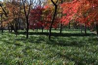 曼珠沙華の緑、冬に映え 埼玉