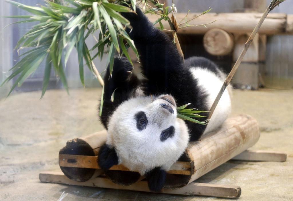 シャンシャン独り立ち順調 終日別居に 上野動物園