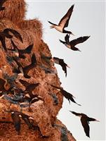 長崎に熱帯の海鳥カツオドリの大群 五島列島の岩礁に300羽以上