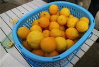 山形レモン収穫始まる 二重のビニールハウスで栽培