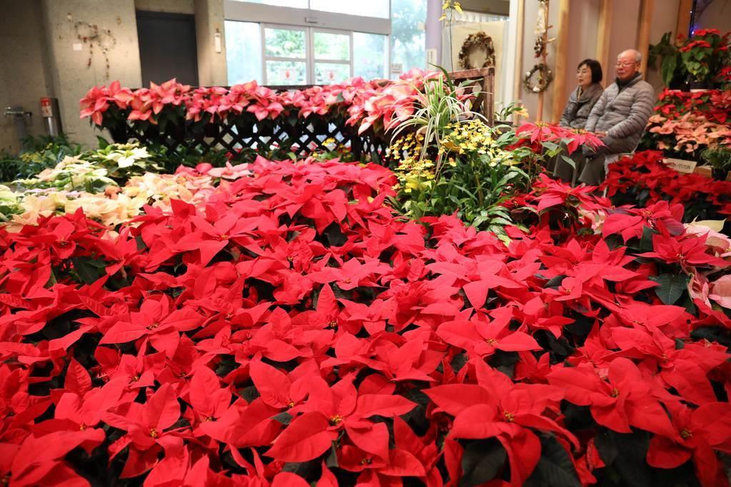 クリスマス彩るポインセチア展 京都府立植物園で25日まで