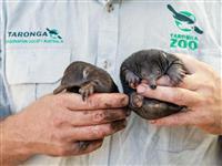 珍獣ハリモグラ2匹誕生 豪シドニーの動物園