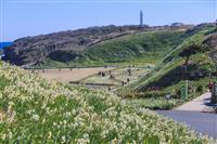 【日本再発見 たびを楽しむ】野水仙300万本 漂う甘い匂い~爪木崎自然公園(静岡県下田…