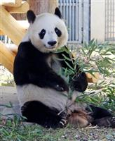 神戸・王子動物園、パンダ研究員初募集 貸与延長に向け本腰