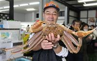 2キロ超!超特大松葉ガニ 兵庫・香住、かに市場で展示