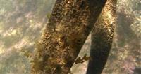 シートベルトで海藻再現 「生態系守りたい」山形