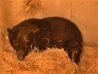 和歌山公園動物園のベニー園長冬眠、一足早く「仕事納め」