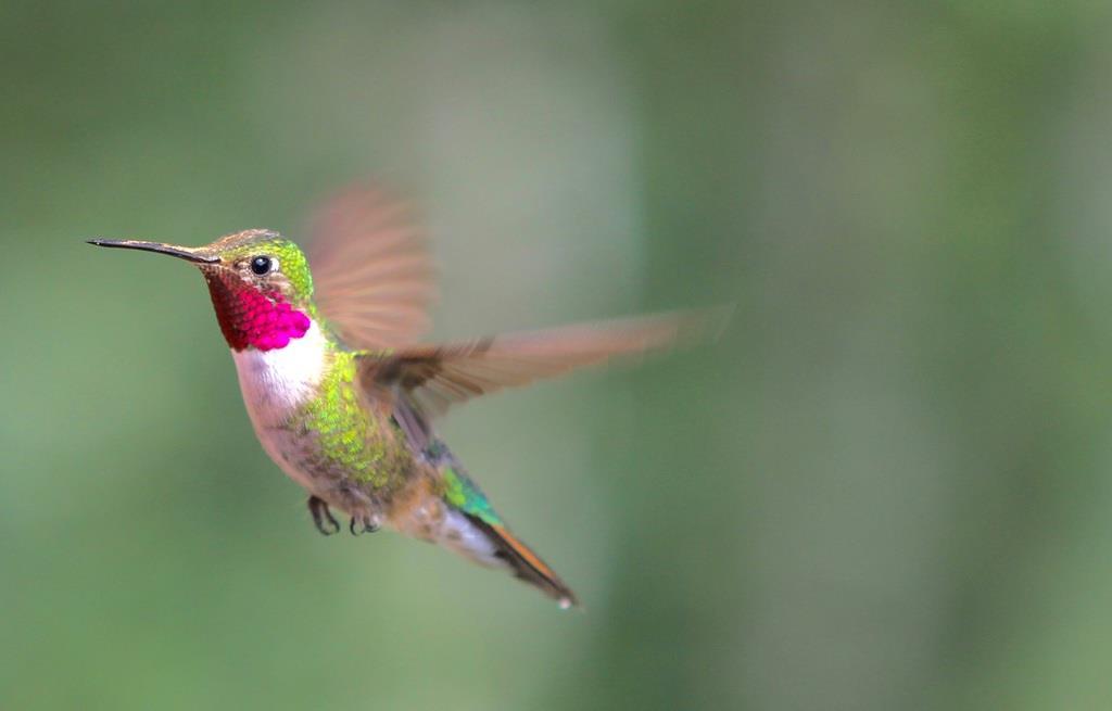 ハチドリの画像 p1_31