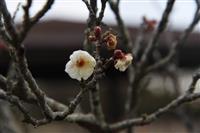仙台で梅開花、一足早い春の兆し
