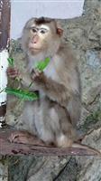 【長野・須坂市動物園】ブタオザルの「ストロベリー」 寒いのは苦手