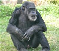 国内最高齢チンパンジー死ぬ 王子動物園のジョニー