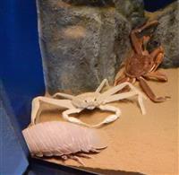 白いズワイガニとダイオウグソクムシ「奇跡のツーショット」 しまね海洋館アクアスで話題呼…