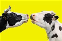 牛の「おなら」と「げっぷ」を退治せよ--科学者たちの大真面目な温暖化対策