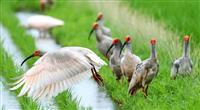 トキ「野生絶滅」見直し 環境省、繁殖・放鳥が成功