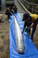 深海魚「リュウグウノツカイ」、豊岡沖で捕獲 城崎マリンワールドで冷凍標本公開へ
