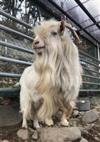 【長野・須坂市動物園 飼育員日誌】シロヤギの「希望」 フェロモンは3キロ先まで