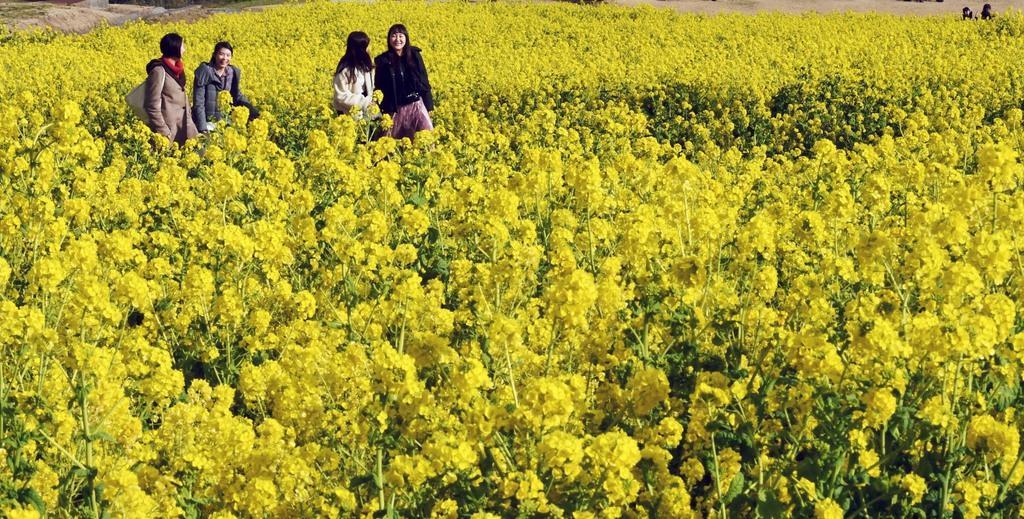 観光施設「あわじ花さじき」で見頃を迎えた菜の花=4日午後、兵庫県淡路市(柿平博文撮影)