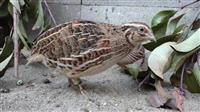【長野・須坂市動物園 飼育員日誌】ウズラの「夏子」(かこ) 脚で見分けがつきます