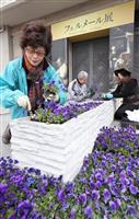 フェルメールブルーのビオラ、大阪市立美術館玄関に植栽