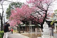 寒緋桜鮮やか 品川・荏原神社