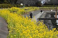 黄色のじゅうたん しながわ花海道で菜の花見頃