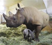 クロサイの赤ちゃん誕生 仙台・八木山動物公園
