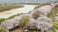 「桜のトンネル」台風で9割被害 京都の名所「背割堤」